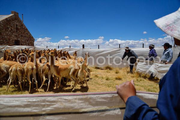 Argentina, Ju Juy, Capture of Vicugas